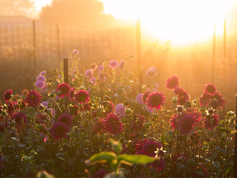 Photograph of flowers basking in golden hour sunlight